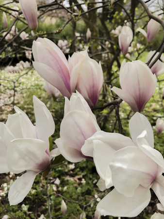 Magnolia is a planting plans in the magnolia family