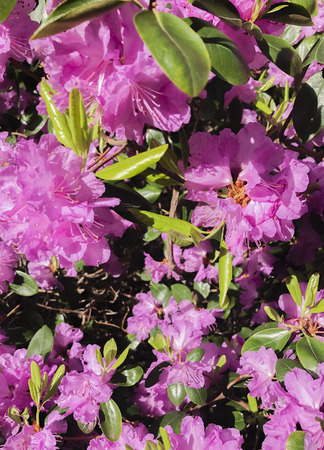 ericaceae: Rhododendrons are a plant genus from the family of heather plants