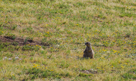 American marble remnants in its nest while other marmots control the environment Stock Photo