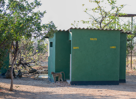 Baboon family at a toilet station in Zimbabwe