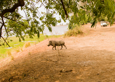 Warthog in Savannah off in Zimbabwe, South Africa
