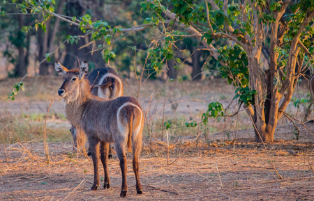 Waterbucks in Savannah off in Zimbabwe, South Africa Stock Photo