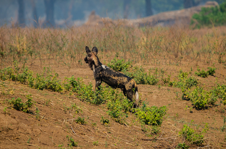 African wild dogs at the Savannah off in Zimbabwe, South Africa Stock Photo