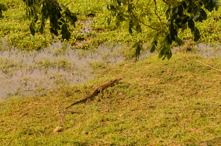 Nile monitor in the savannah of Zimbabwe, South Africa