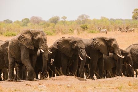 Elephants in the savanna of Zimbabwe, South Africa