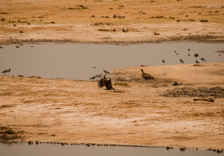 Vultures in the savanna of Zimbabwe, South Africa