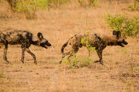 African wild dogs at the Savannah off in Zimbabwe, South Africa Reklamní fotografie