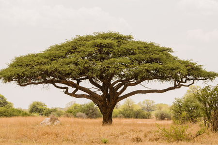 Acacia tree in Savannah Zimbabwe, South Africa