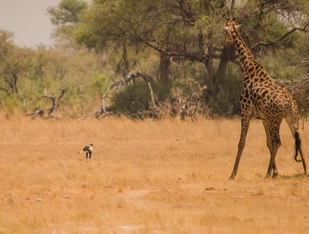 Giraffe in the savanna of Zimbabwe, South Africa