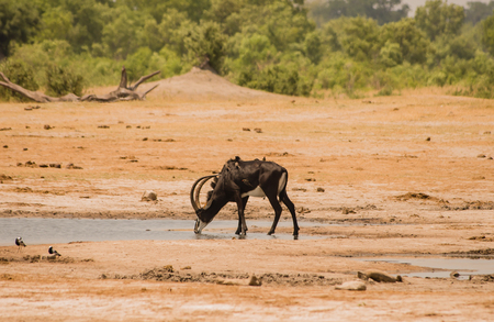 sable antelope in the savanna of Zimbabwe, South Africa