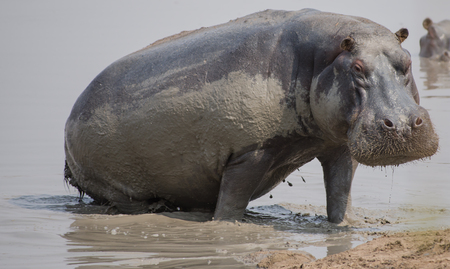 Hippo in Savannah off in Zimbabwe, South Africa Banque d'images