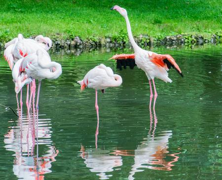 ピンクのフラミンゴが湖で泳ぐ 写真素材