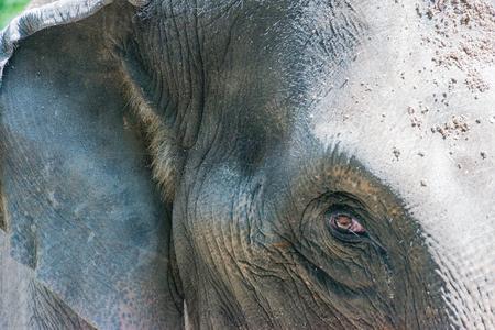 Asian elephant in closeup