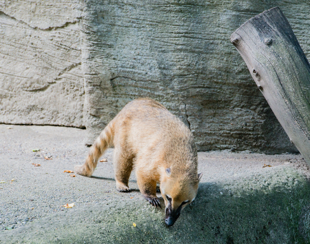 Coati looking for food Stock Photo