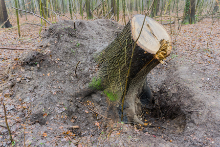 Tree overturned after a storm in northern Germany Stock Photo