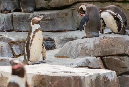 Gentoo penguin dives underwater Stock Photo