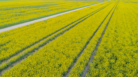 Drone's flight and aerial view over a rape field Stock Photo