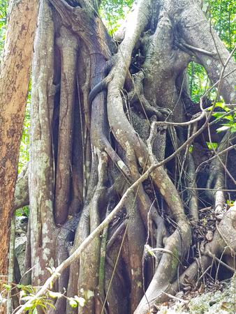Bat cave tree in Jamaica