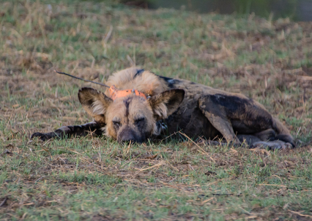 African wild dogs at the Savannah off in Zimbabwe, South Africa Standard-Bild