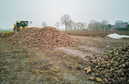 Sugar beet harvest with a sugarbeet harvester at agricultural machine