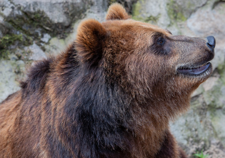 European brown bear in the outdoors and close-up 스톡 콘텐츠