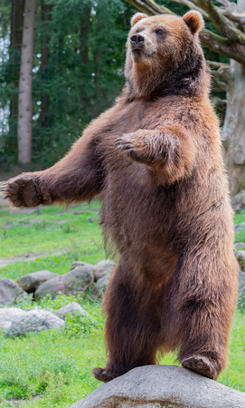 European brown bear in the outdoors and close-up