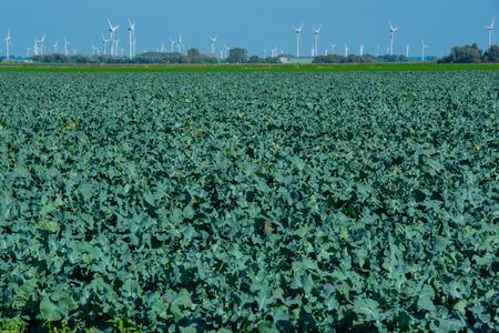 Broccoli field in the cabbage growing region Schleswig Holstein
