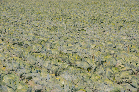 Cabbage field in the cabbage growing region Schleswig Holstein Stock Photo