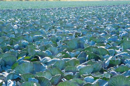 Red cabbage field in the cabbage growing region Schleswig Holstein Zdjęcie Seryjne