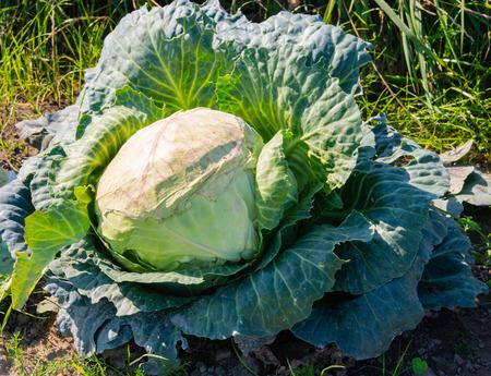 Cabbage field in the cabbage growing region Schleswig Holstein Zdjęcie Seryjne