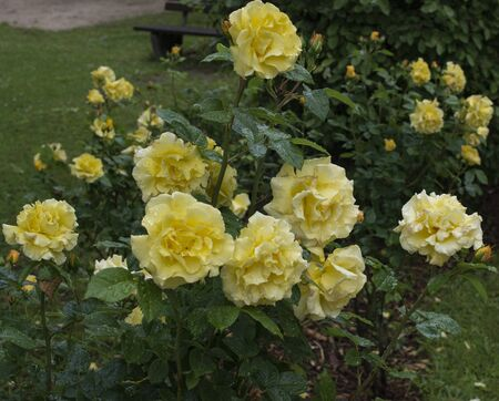 Yellow breeding roses in bloom blow in the wind