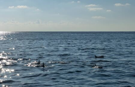 Dolphins swimming in Indian Ocean off the Maldives