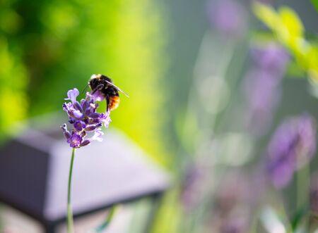 Bumble bee searching for food, macro photography Standard-Bild