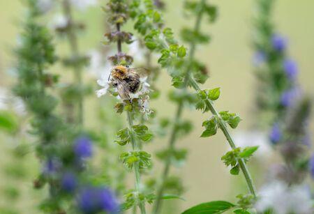 Bumble Bee alla ricerca di cibo, macrofotografia Archivio Fotografico