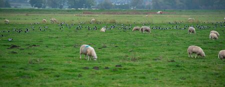 Barnacle goose while grazing before hike south