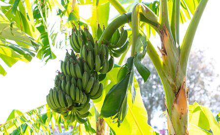 Ripe dessert banana and banana trees on the island of Kos Greece