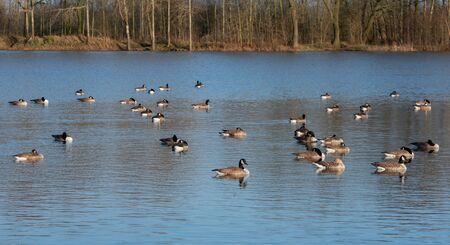 Many Barnacle Goose rest on a lake
