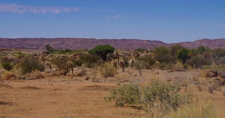 Giraffes in the nature reserve in National Park South Africa