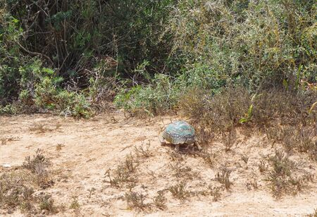 Leopard tortoise in the nature reserve in the National Park South Africa