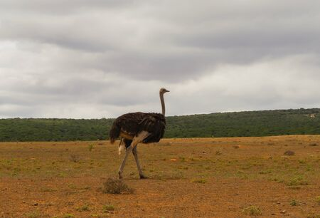 Ostrich in the nature reserve in National Park South Africa