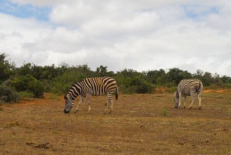 Zebras in the nature reserve in National Park South Africa