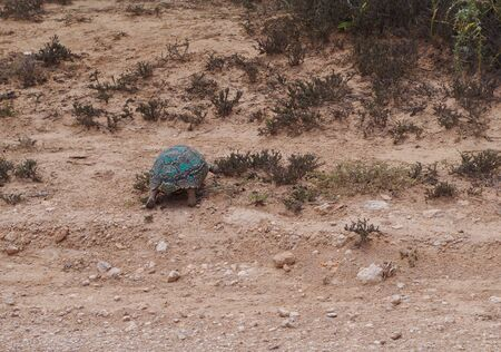 Leopard tortoise in the nature reserve in the National Park South Africa Stock Photo