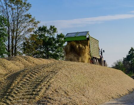 Corn harvest for the feeding of agricultural animals Фото со стока