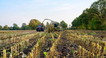 Corn harvest for the feeding of agricultural animals 版權商用圖片