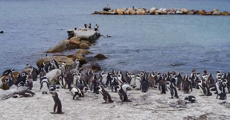 Penguins at Boulders Beach in Simon's Town South Africa Фото со стока