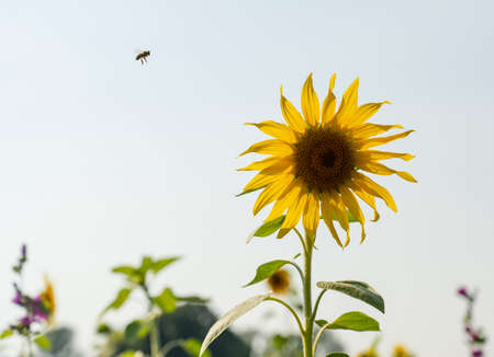 Flower strips with sunflowers on the edges of fields are intended to attract bees and insects