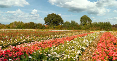 Blossom splendor of colored roses on a rose field