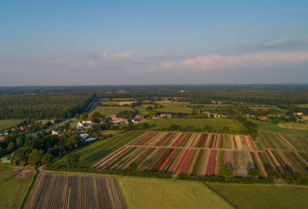 Aerial view with a drone of colorful rose fields