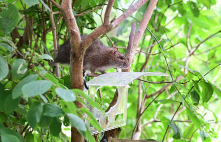 Rat sits on a branch in front of bird house and looks for food