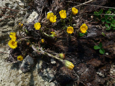 Group of spring flowers Coltsfoot bush. Medicinal plant with yellow buds.